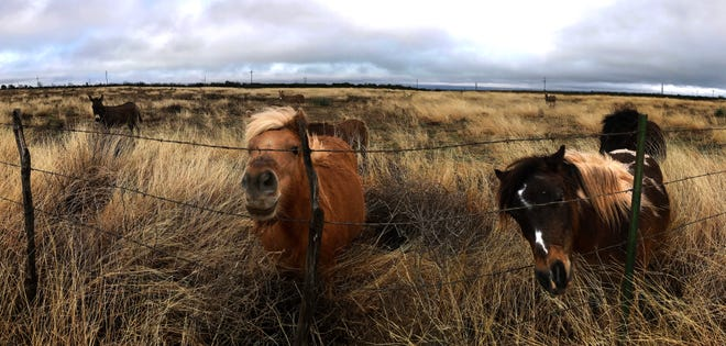 Miniature horses curiously poke their noses through a fence in Knox County on Dec. 26.