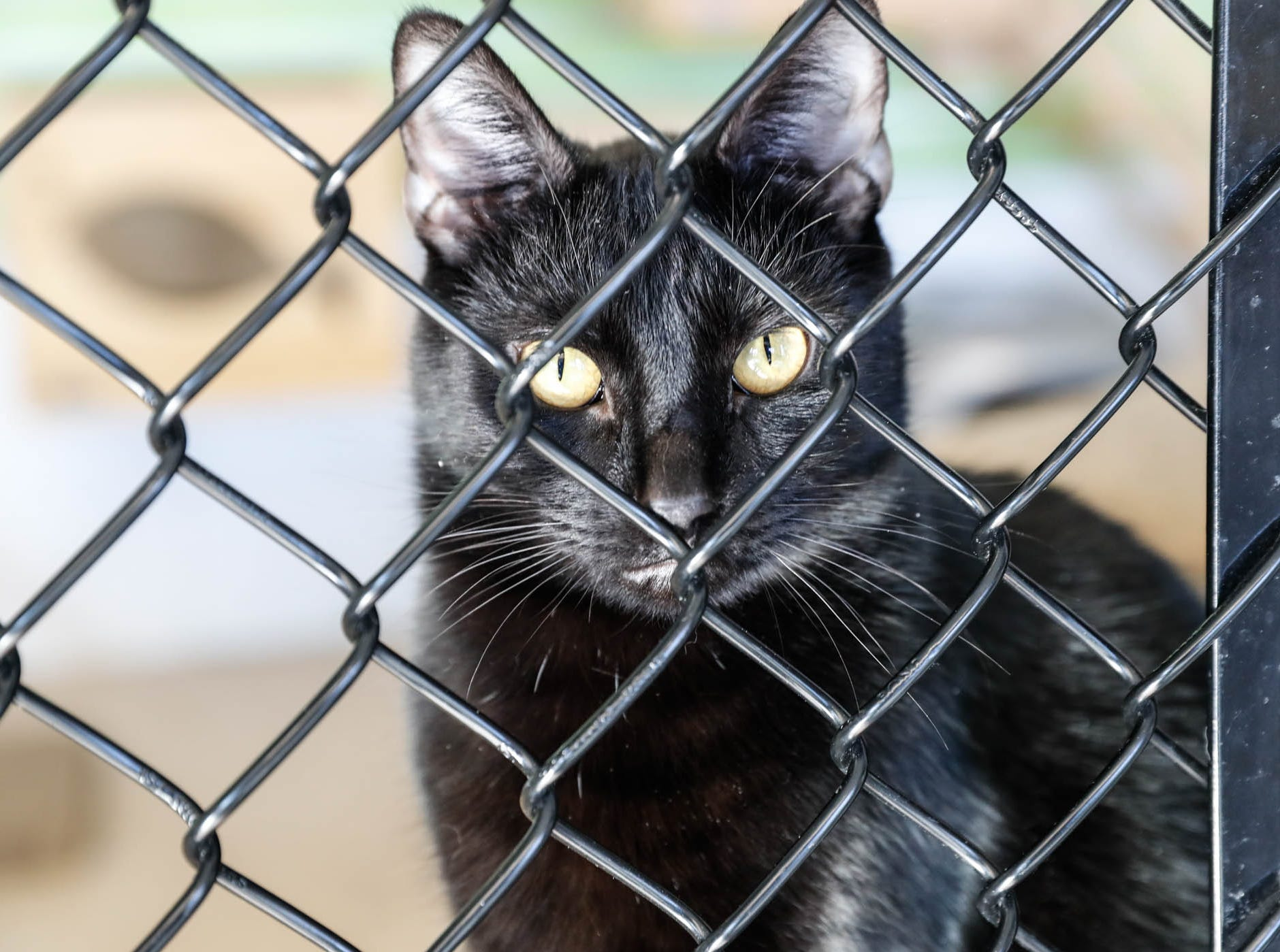 Mitch, a 2.5 year old black domestic short hair is waiting on a forever home at Indianapolis, Animal Care Services, 2600 S Harding St, on Sunday, Jan. 27, 2019. He is best in a home with no other cats.