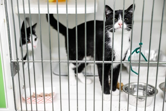 Somba and Oreo and domestic shorthairs waiting on a forever home at Indianapolis, Animal Care Services, 2600 S Harding St, on Sunday, Jan. 27, 2019.