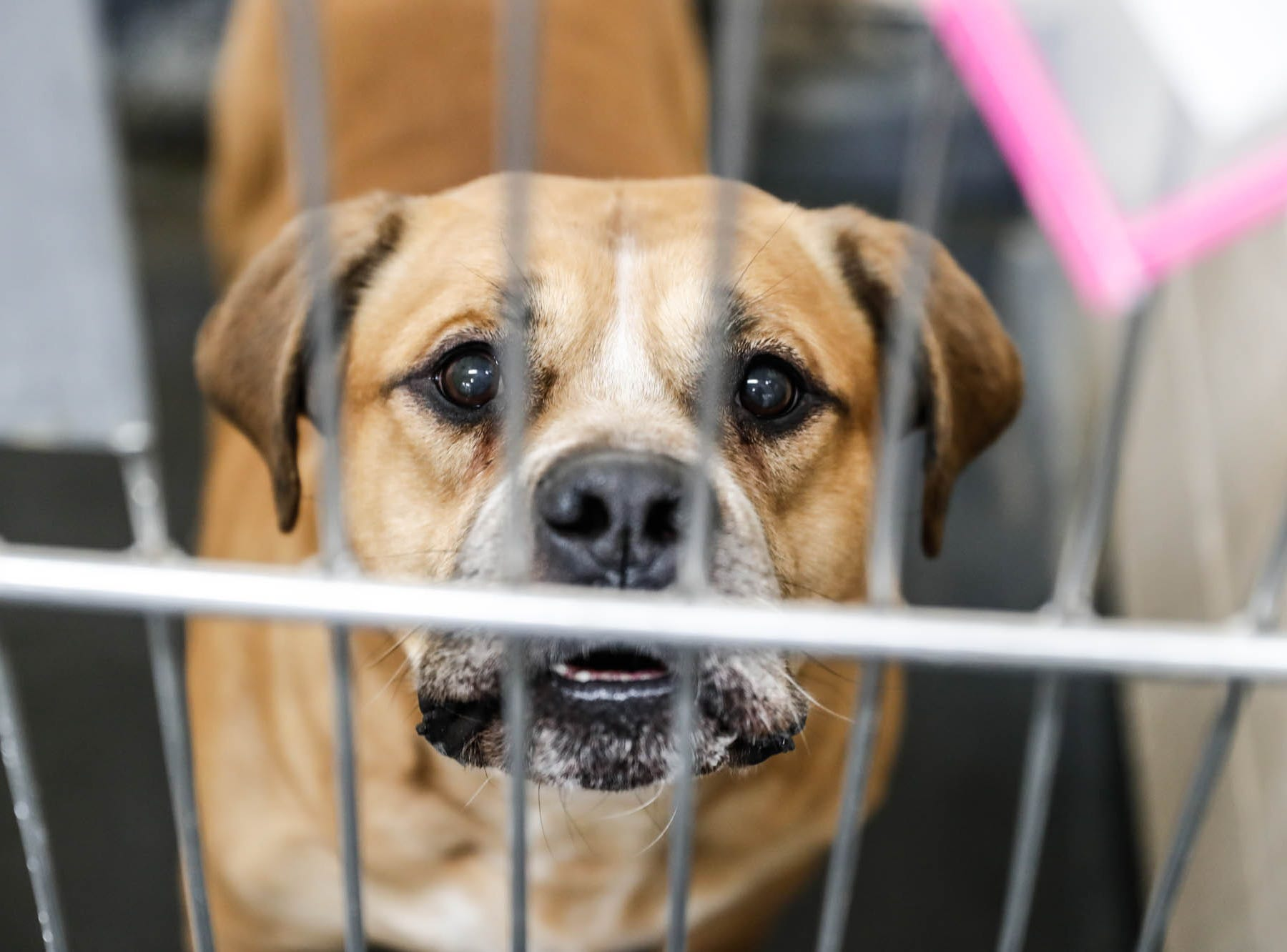 Rocko, a ten-year-old male tan and white pit bull terrier and rottweiler mix, waiting on a forever home at Indianapolis, Animal Care Services, 2600 S Harding St, on Sunday, Jan. 27, 2019.