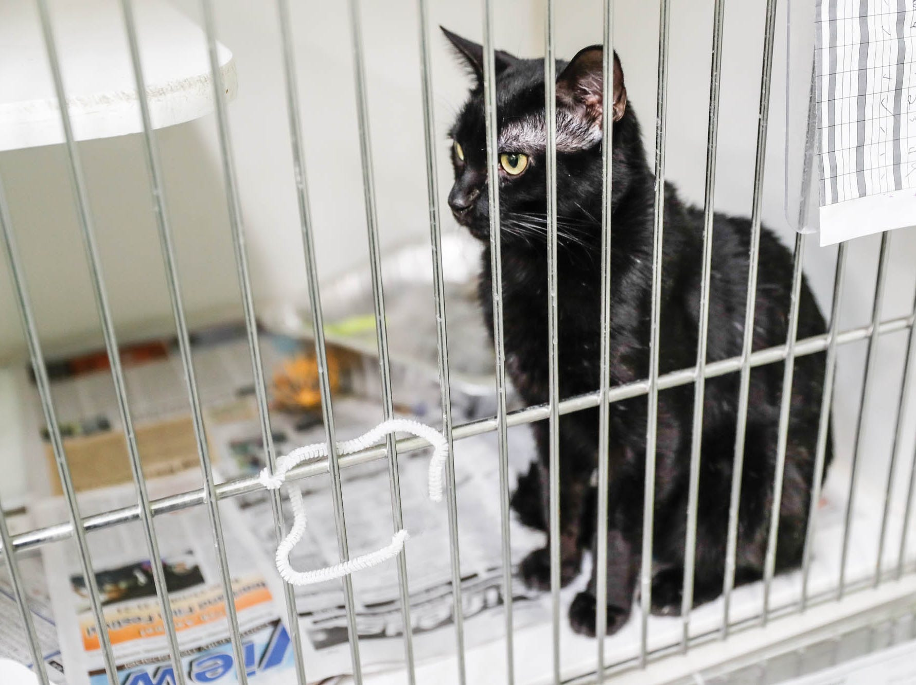 Vegas is a two-year-old male short hair waiting on a forever home at Indianapolis, Animal Care Services, 2600 S Harding St, on Sunday, Jan. 27, 2019.  Sadly his owner passed away.