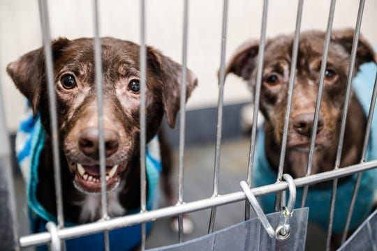 Persephone and Selene are a pair of five-year-old Labrador retriever mixes who are sharing a cage while waiting on a forever home at Indianapolis, Animal Care Services, 2600 S Harding St, on Sunday, Jan. 27, 2019.