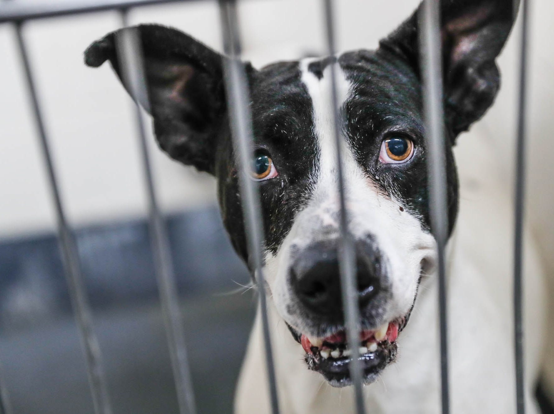 Smirky Turkey is a five-year-old male black and white pit bull terrier mix and is waiting on a forever home at Indianapolis, Animal Care Services, 2600 S Harding St, on Sunday, Jan. 27, 2019.