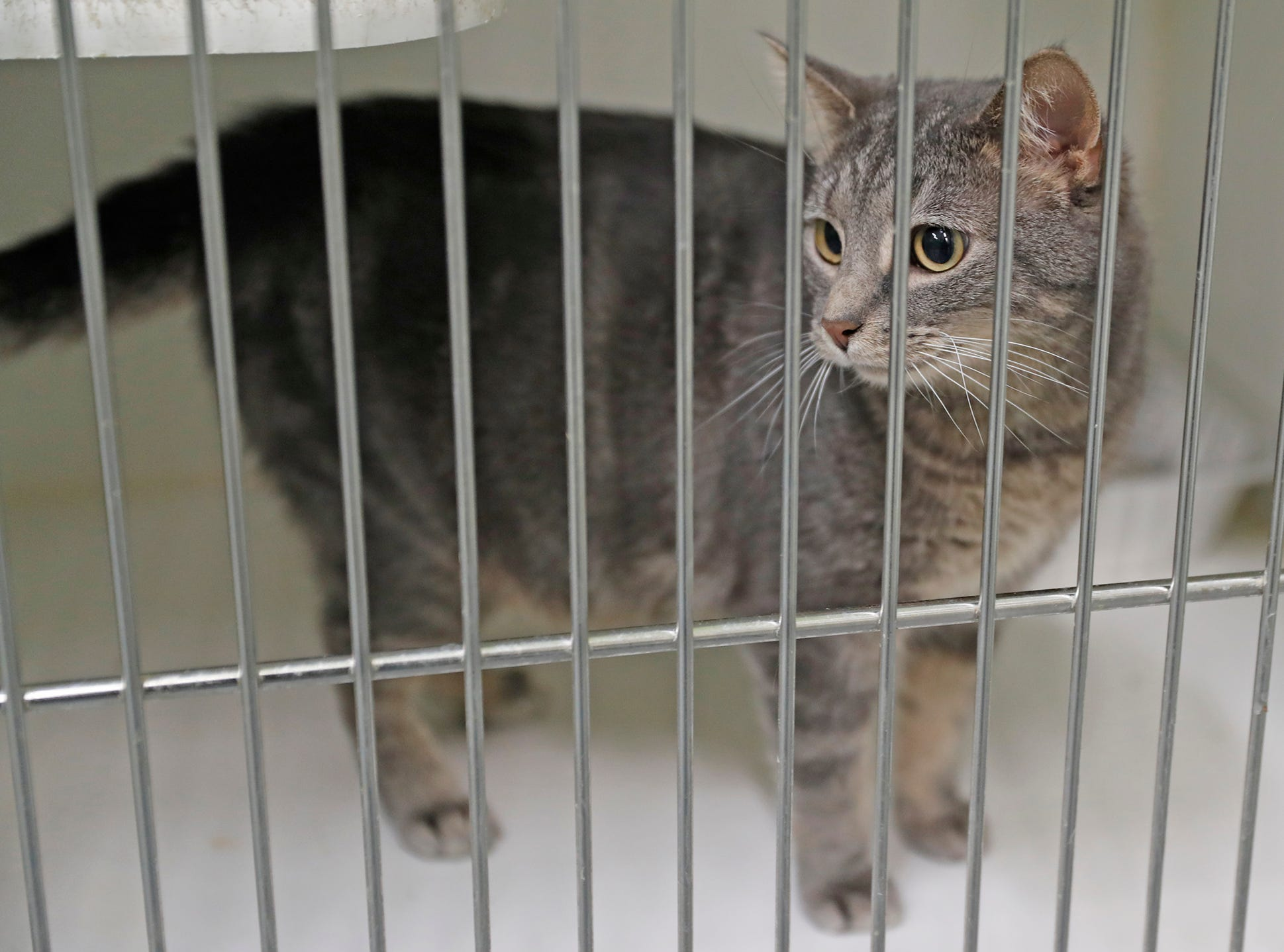Mustard is a female two-year-old gray tabby domestic shorthair waiting on a forever home at Indianapolis, Animal Care Services, 2600 S Harding St, on Sunday, Jan. 27, 2019.  She is front declawed.