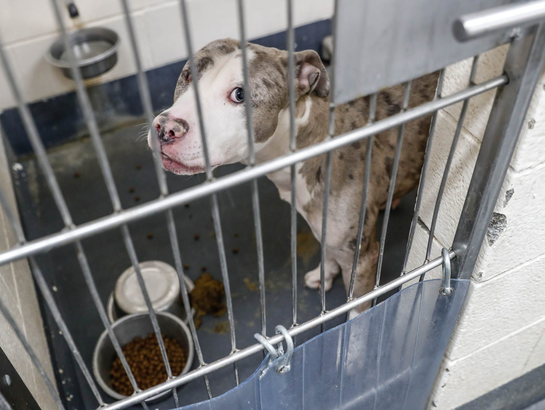 Smoke, a two-year-old, one-eyed pit bull mix is waiting on a forever home at Indianapolis, Animal Care Services, 2600 S. Harding St, on Sunday, Jan. 27, 2019. He is shy at first but will warm up and enjoy cuddles. He would do best as the only dog in a home with no children.