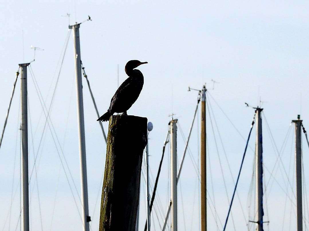 A cormorant is silhouetted while perching high atop a pilling at the Poulsbo Marina on Monday, January 28, 2019.