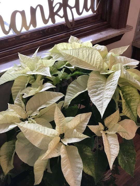 A creamy white poinsettia continues to sparkle beyond the holidays, happy with enough light and water.