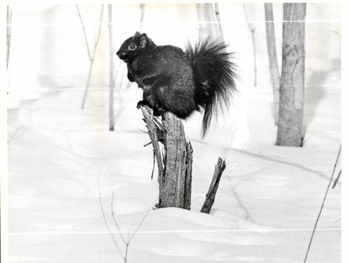 A sensible Belle Isle black squirrel, sitting on a dead limb, keeping his tootsies dry and enjoying the noonday sun in February 1979.