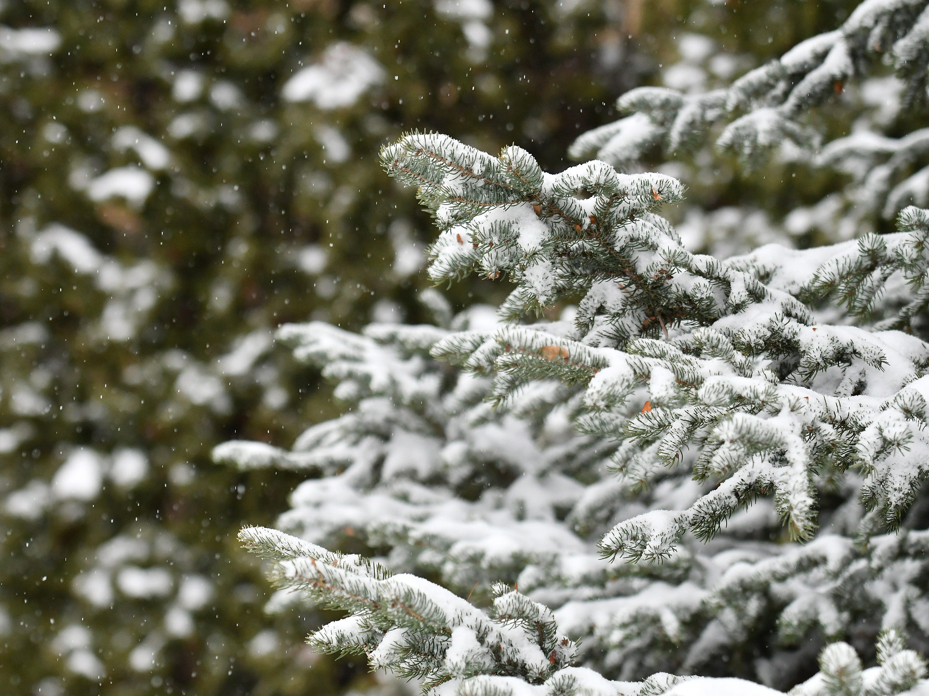 Snow falls and some clings to the branches of a pine tree and bushes in Detroit on Jan. 28, 2019.