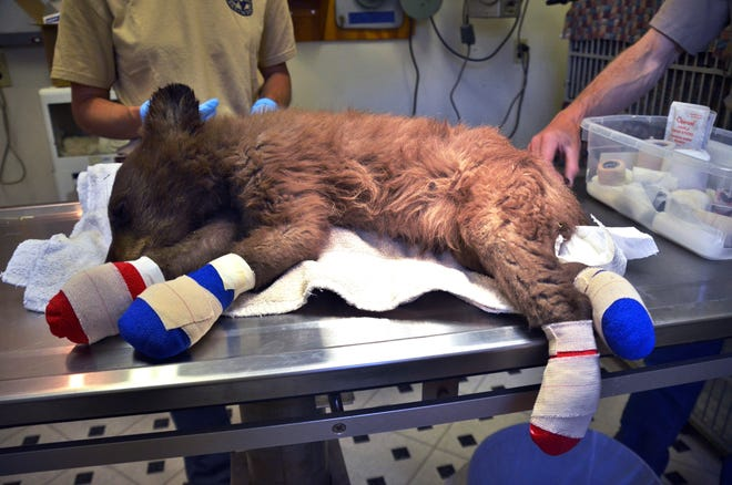 FILE - In this June 27, 2018 file photo provided by Colorado Parks and Wildlife, a female bear cub lies on a table with bandages on her burned paws in Del Norte, Colo. The orphaned bear cub burned by a Colorado wildfire has been released back into the wild. The Durango Herald reports that the cub was placed in the mountains west of Durango on Friday, Jan. 25, 2019, asleep inside a man-made den along with a second orphaned cub. (Joe Lewandowski/ Colorado Parks and Wildlife via AP, File)