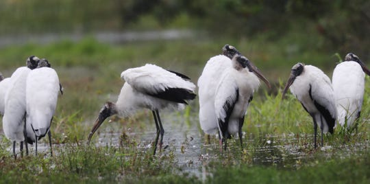 Wood storks wade in a ditch filled with water from recent rains along North River Road. The rainy season started Wednesday, May 15, according to the National Weather Service. Andrew West/The News-Press