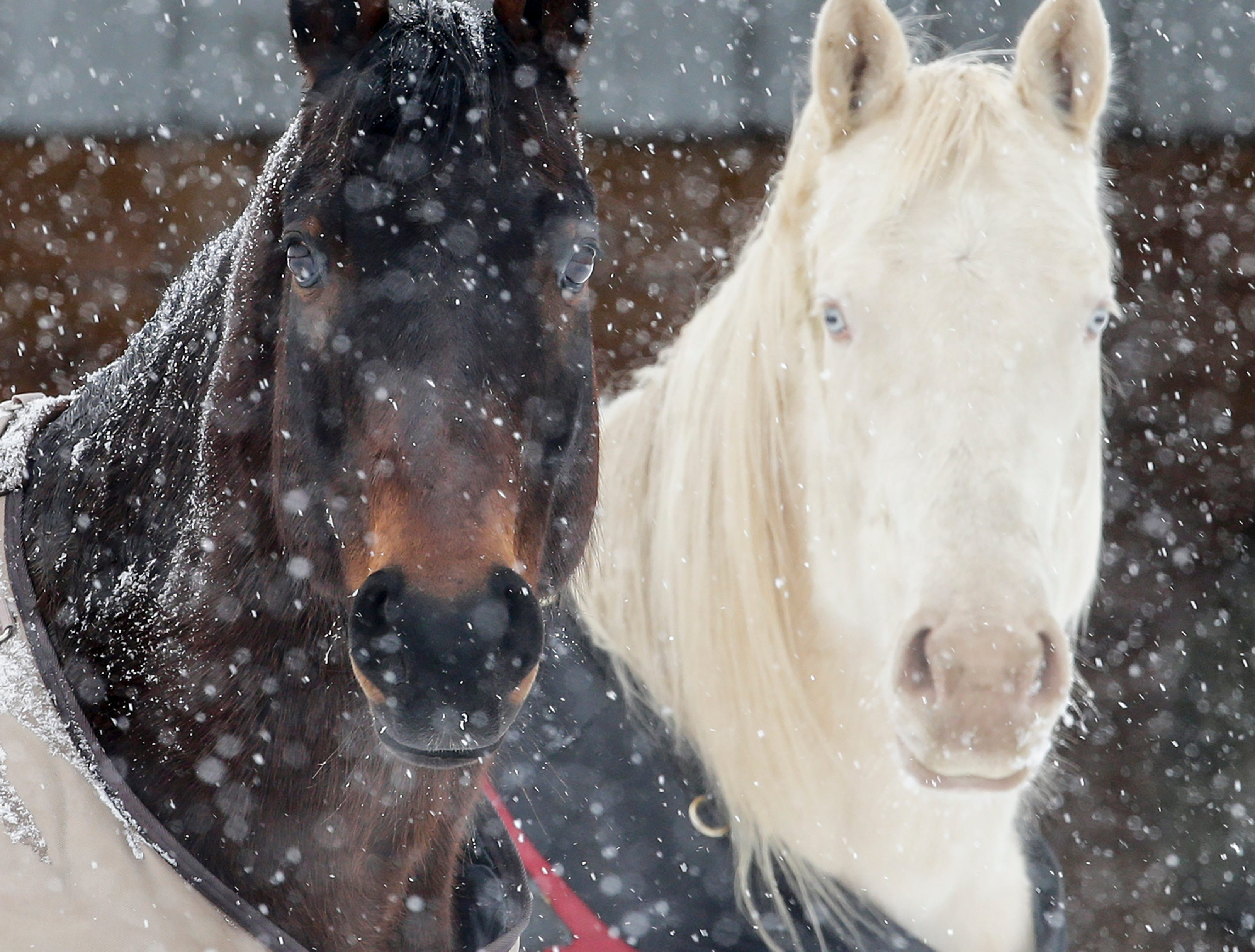 Horses stand in the a snowstorm on a farm in Two Rivers, Wis., Monday, Jan. 28, 2019.