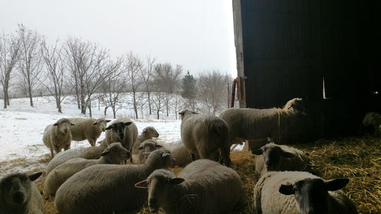Ewes resting in the Local Harvest barn in Solon last winter. They'll be housed in the same unit during the cold temperatures this week.