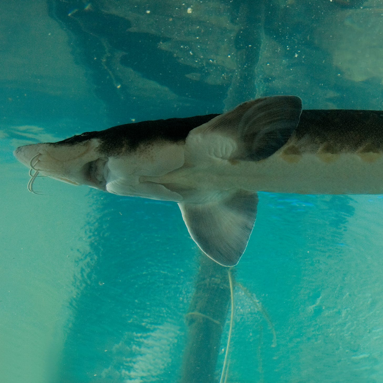 Everyone's heard of lake sturgeon — why have so few in Wisconsin tasted it?