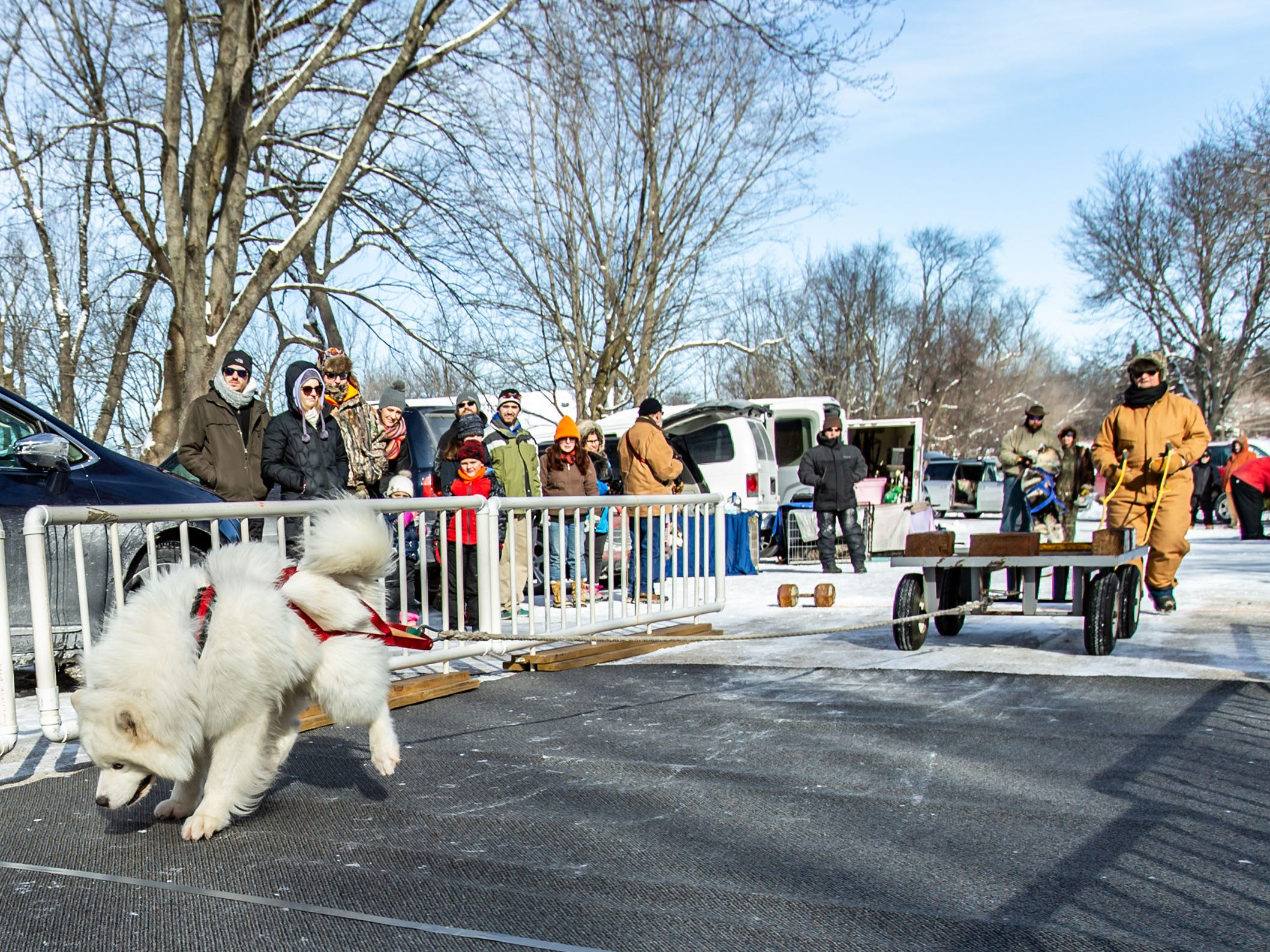 Spectators look on as a Samoyed named Winston competes in the Alaskan Malamute Dog Pull at Minooka Park in Waukesha during the 34th annual Waukesha JanBoree on Sunday, Jan. 27, 2019. The event was hosted by the Alaskan Malamute Club of Wisconsin.