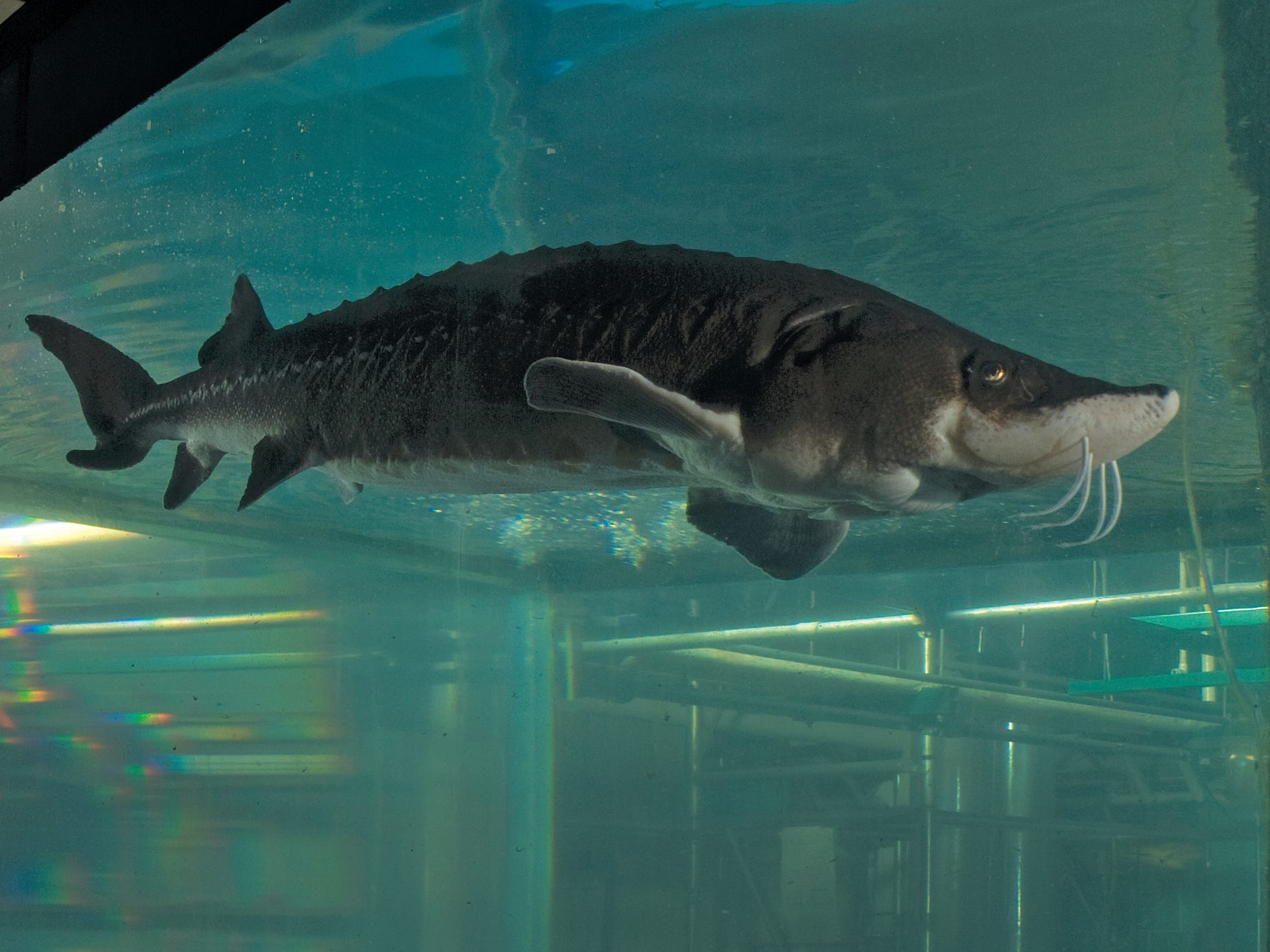 Lake sturgeon, shown here in a tank, has a thick skin, not scales.