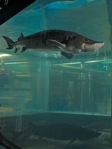 A short explanation on Wisconsin's largest and oldest native fish, the sturgeon