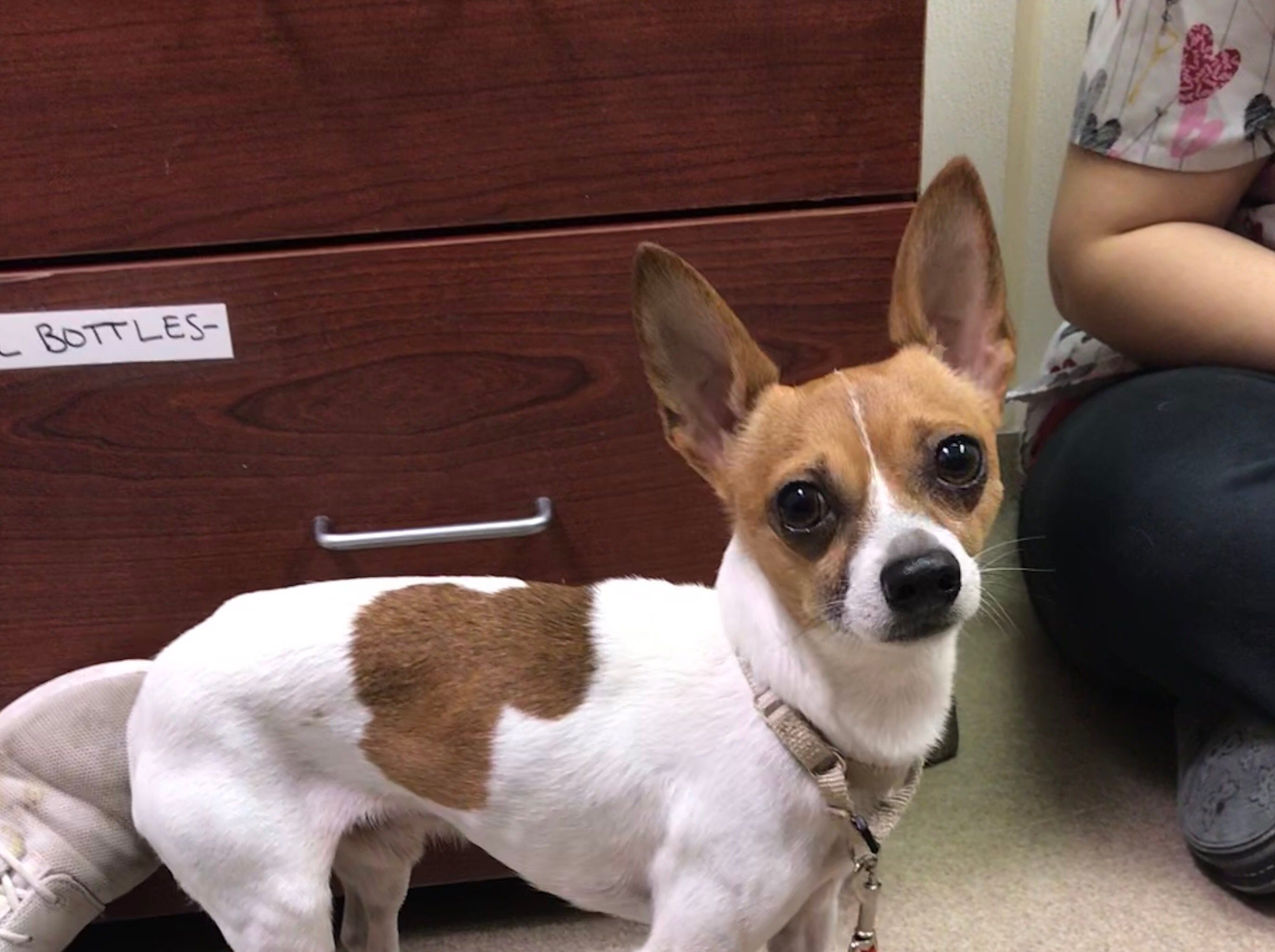 Chocolate, a 3-year-old Chihuahua mix, must go home with his best friend, Prince. He is neutered.