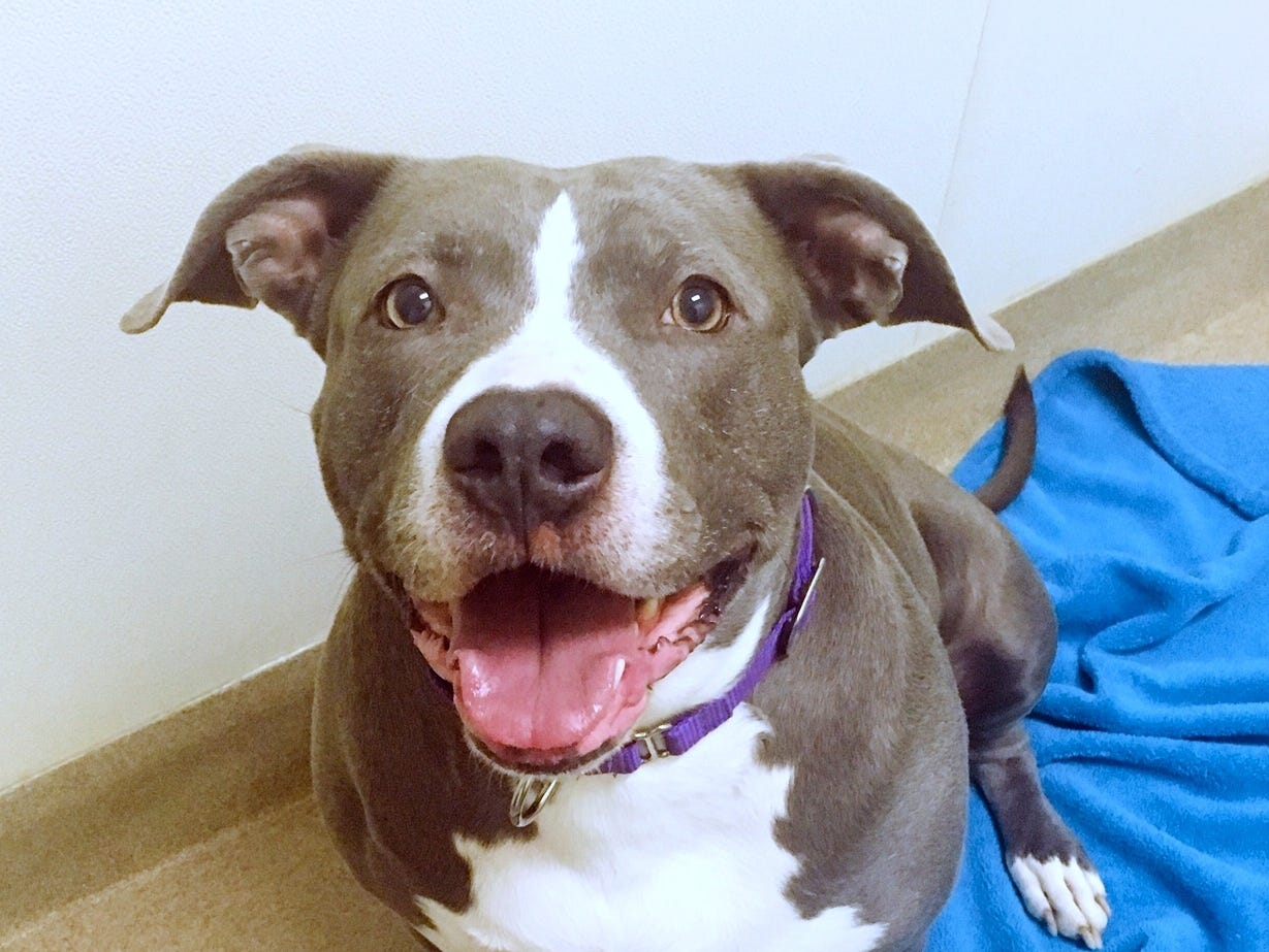 Dixie, a 5-year-old mixed breed, is laid back and loves long walks and couch time. She is spayed.