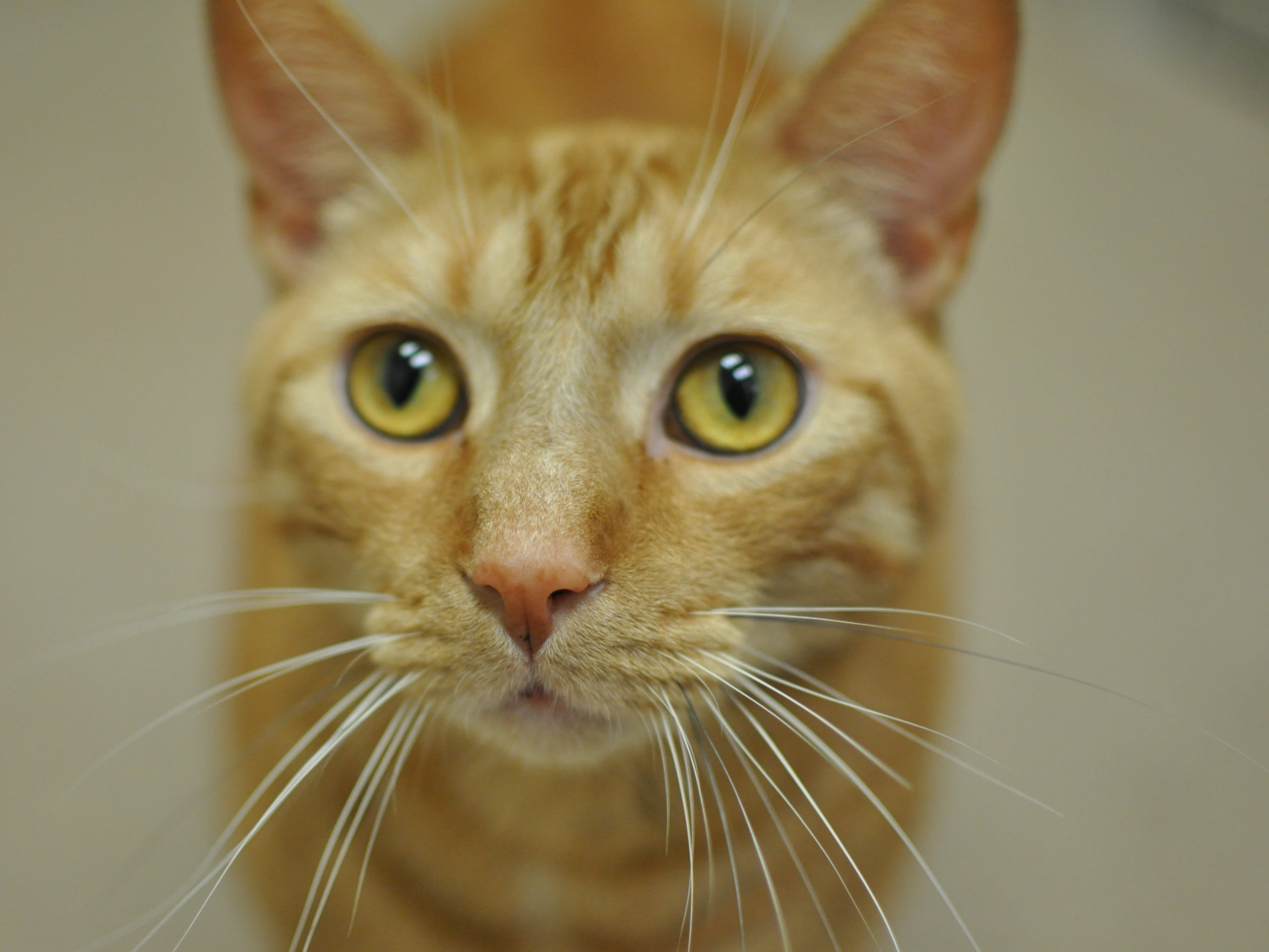 Pumpkin, 4, loves to be pet and rub on people's legs for attention. He is neutered.