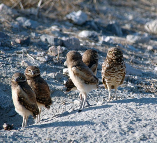 A group of burrowing owls, with the parent owl on the far right