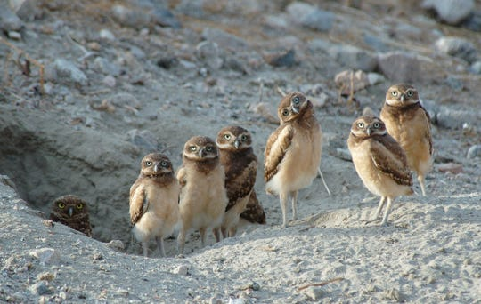 A group of burrowing owls, with the parent owl to the far left