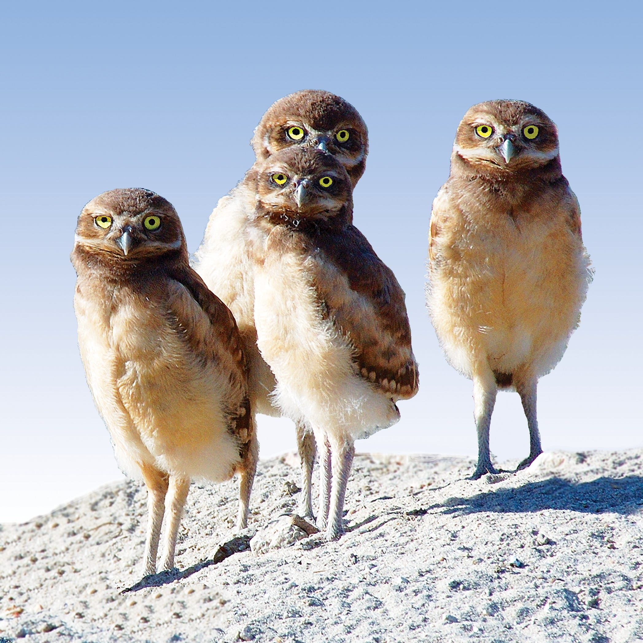 Burrowing owls find their own way to stay cool in the California desert