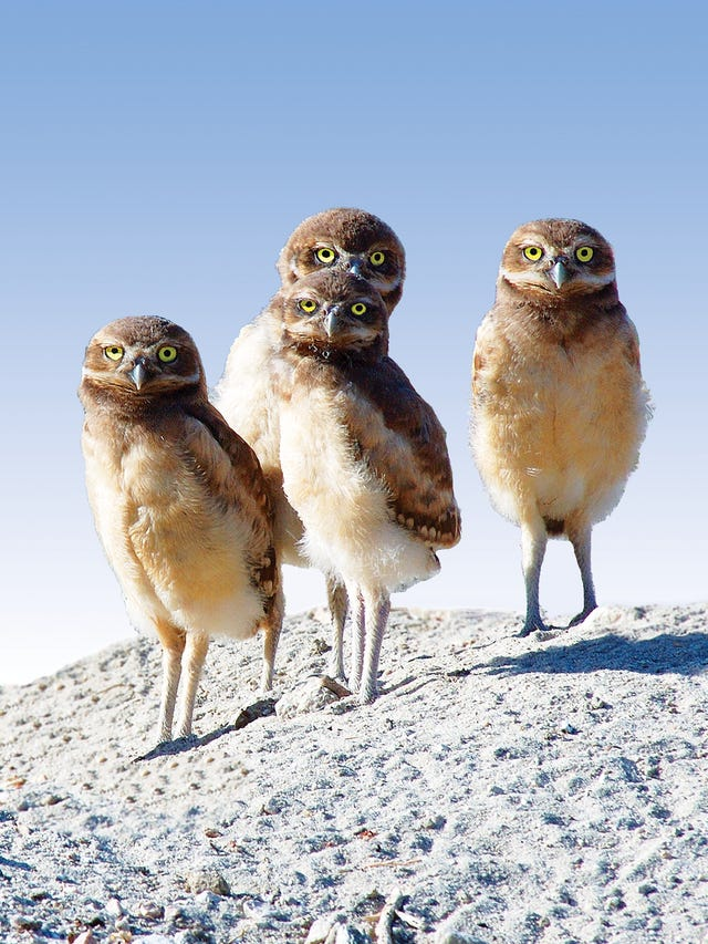Burrowing owls find their own way to stay cool in California