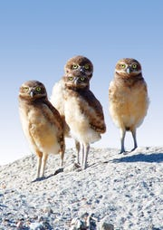Four young burrowing owls
