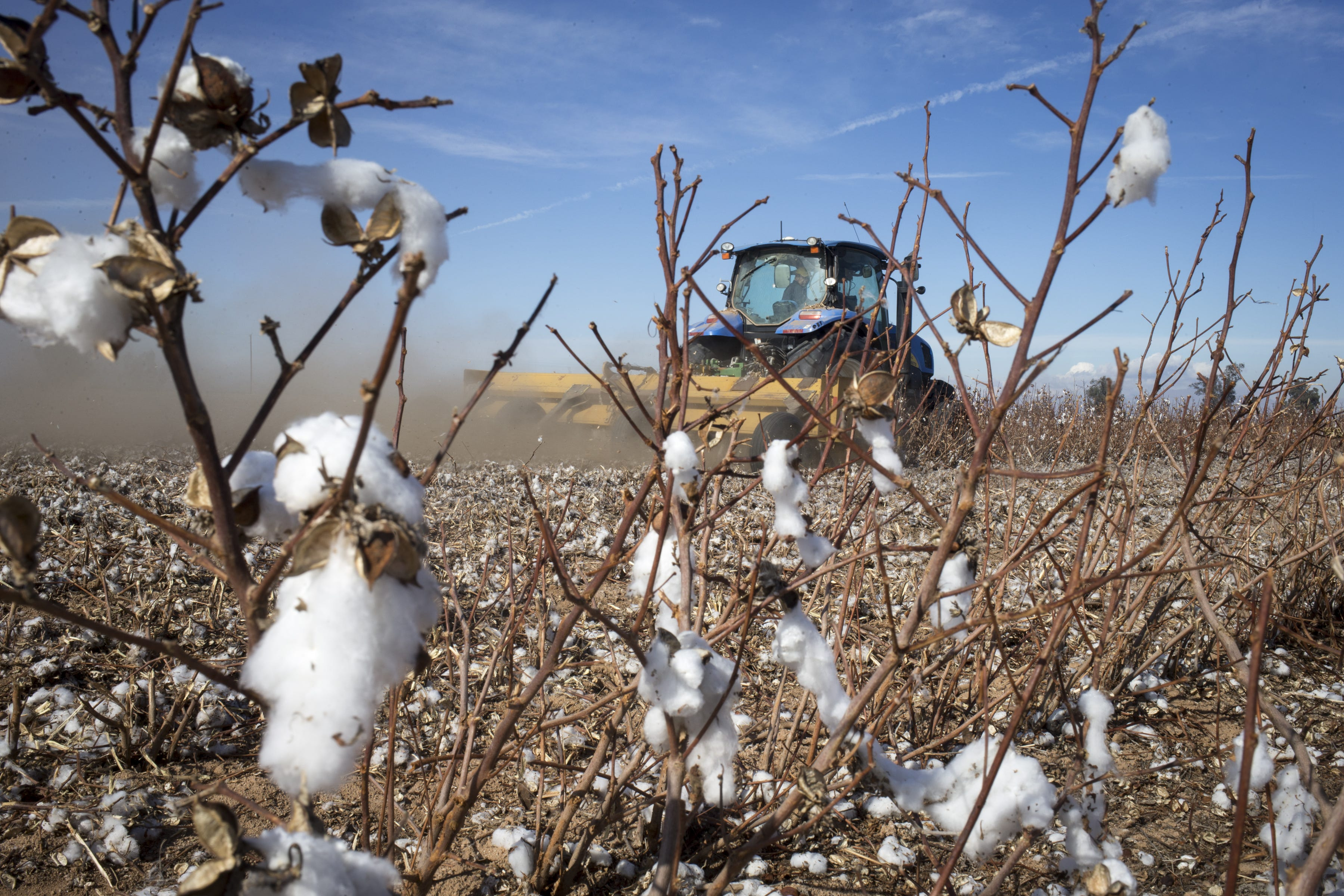 A tractor chops down stalks of cotton plants after the harvest on Jan. 16, 2019, in a field on the Thelander family's farm south of Maricopa, Arizona.