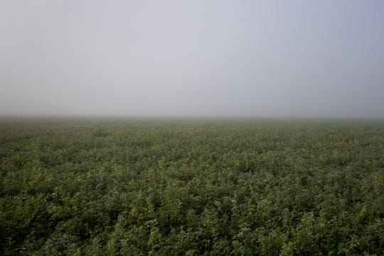 Mist hangs over an alfalfa field after rainy weather on Jan. 16, 2019, in Pinal County.