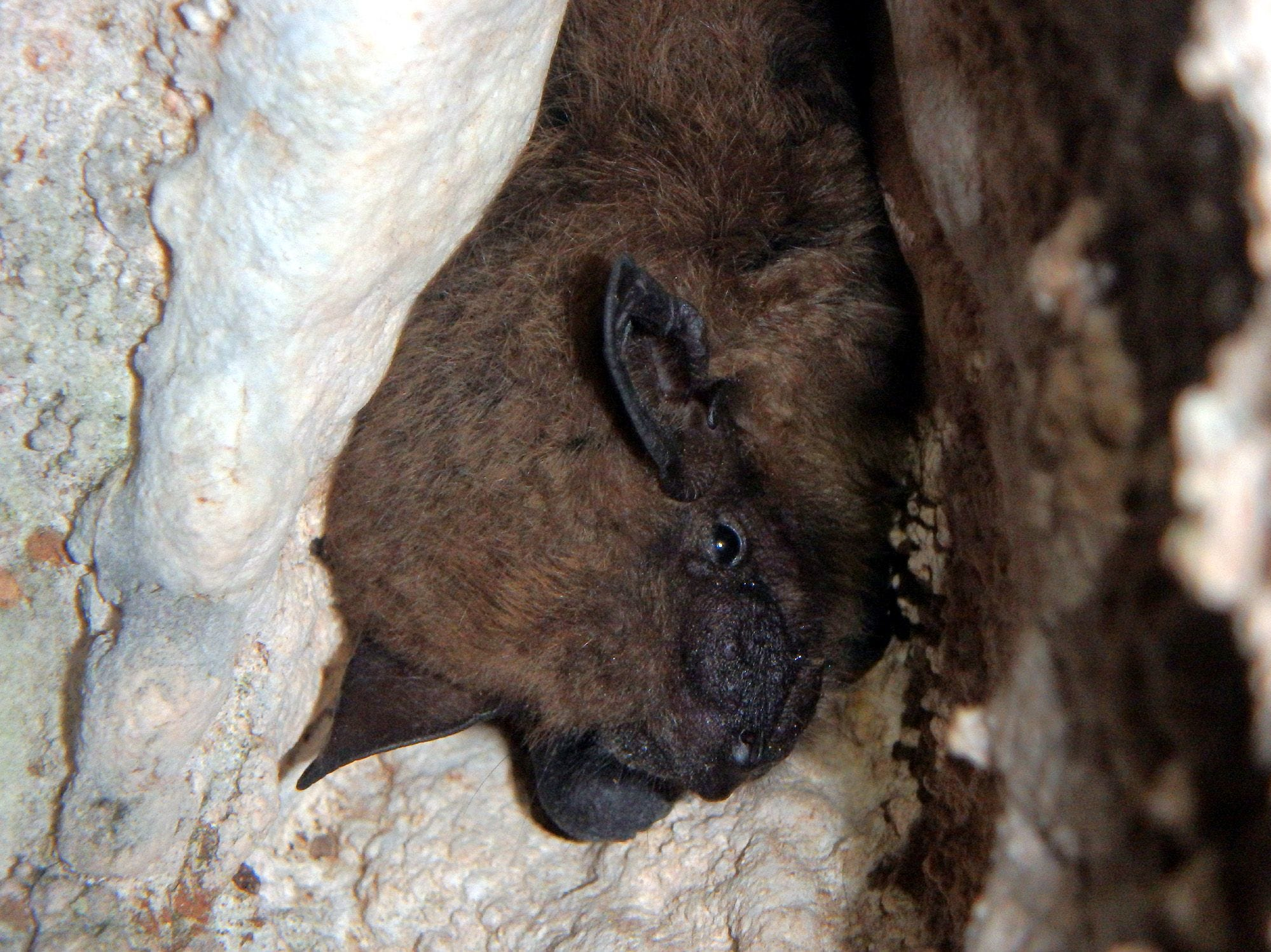 Surveyors found a big brown bat hibernating in Sequiota Cave, along with 112 tri-colored bats.