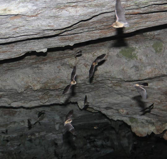 Endangered gray bats, like these flying in Sequiota Park cave,  were identified by sound recordings near the route of the Kansas Expressway extension.