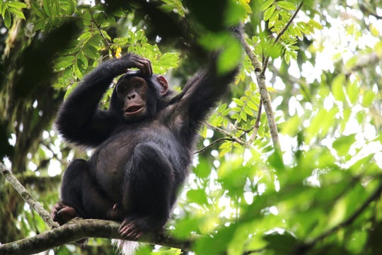 Wildlife Experience, a Ventura County nonprofit, will present Uganda Wild, an introduction to the creatures, cultures and biomes of Uganda Saturday at the Camarillo Library. The event will focus on Uganda's 19 primate species,  including the chimpanzee (pictured) and the highly endangered mountain gorilla.