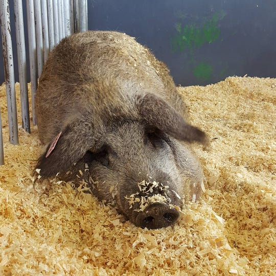 Mangalitsa pork is a heritage breed grown in Iowa by Steve and Becky Kerns.