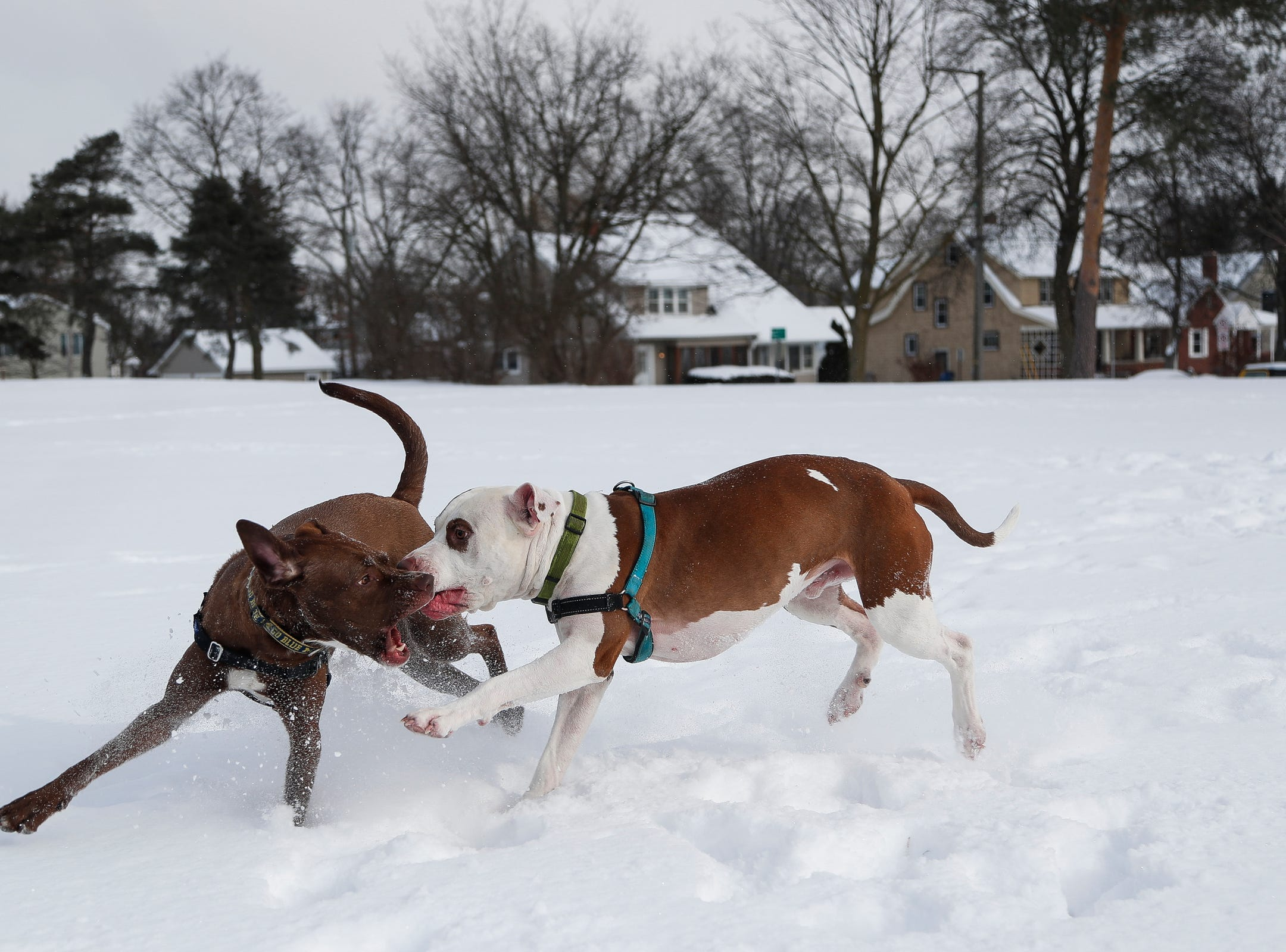 Woodson, belongs to Elsha Chapman, left, and Tucker, who belongs to Sarah Bartlett play at the Allmendinger Park in Ann Arbor, Tuesday, Jan. 29, 2019.
