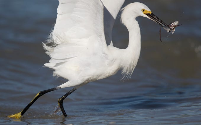 A snowy egret hunts in the Gulf of Mexico on the south end of Fort Myers Beach on Tuesday 1/29/2019. Red tide is patchy in some areas mostly in northern Lee County and Charlotte County. In this area the numbers are way down.