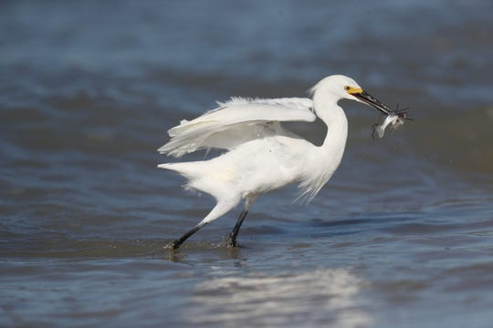 A snowy egret snatches up lunch while hunting in the shallow waters. Both red tide and blue-green algae have abated in recent weeks, but some experts expect cyanobacteria will return to the area soon.