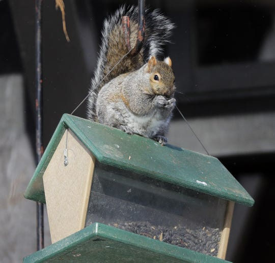 A squirrel fuels up for the bitter cold by eating from a bird feeder at Bay Beach Wildlife Sanctuary on Tuesday. One of the best things people can do to help backyard wildlife in this extreme weather is to make sure their feeders are full.
