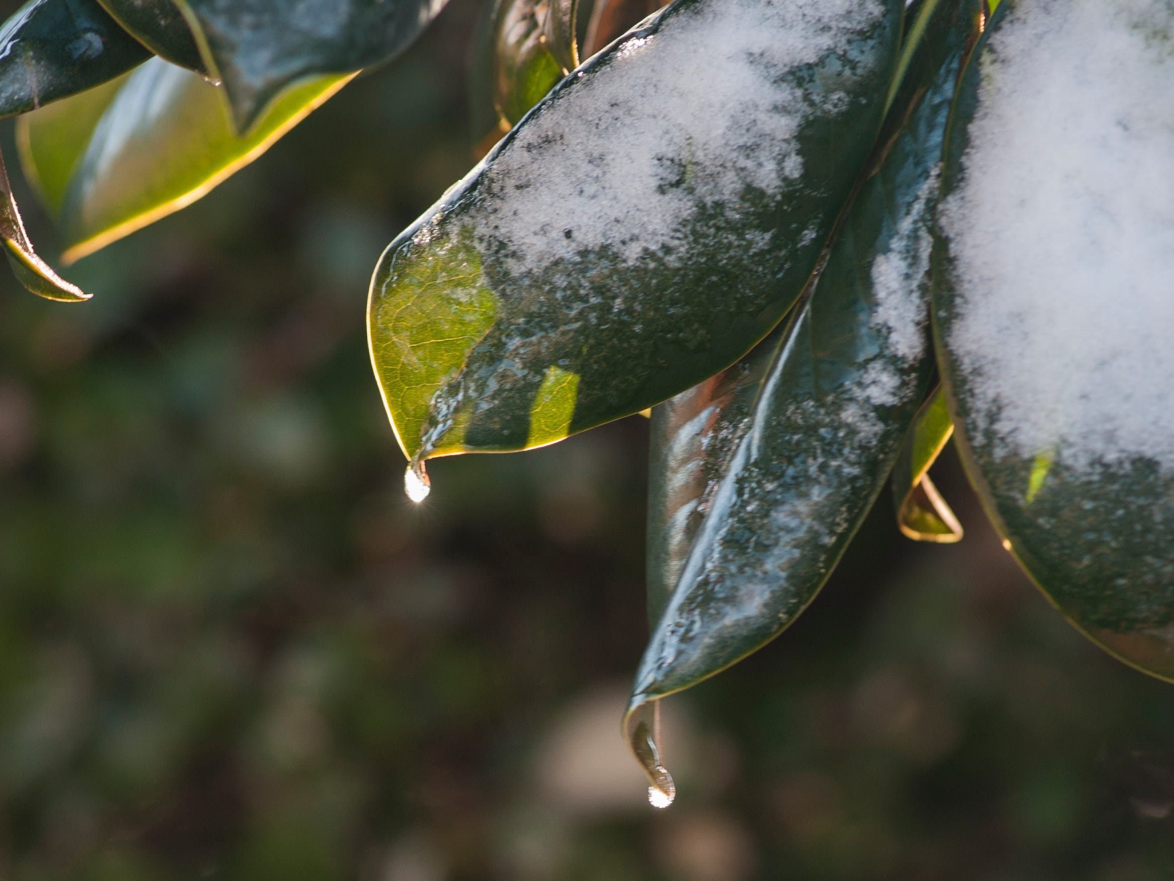 Icicle-tipped magnolia leaves await the warmth of the sun Jan. 29, 2019, after a cold front moved through state leaving the Jackson, Miss. metro area with freezing temperatures and less than an inch of snow.