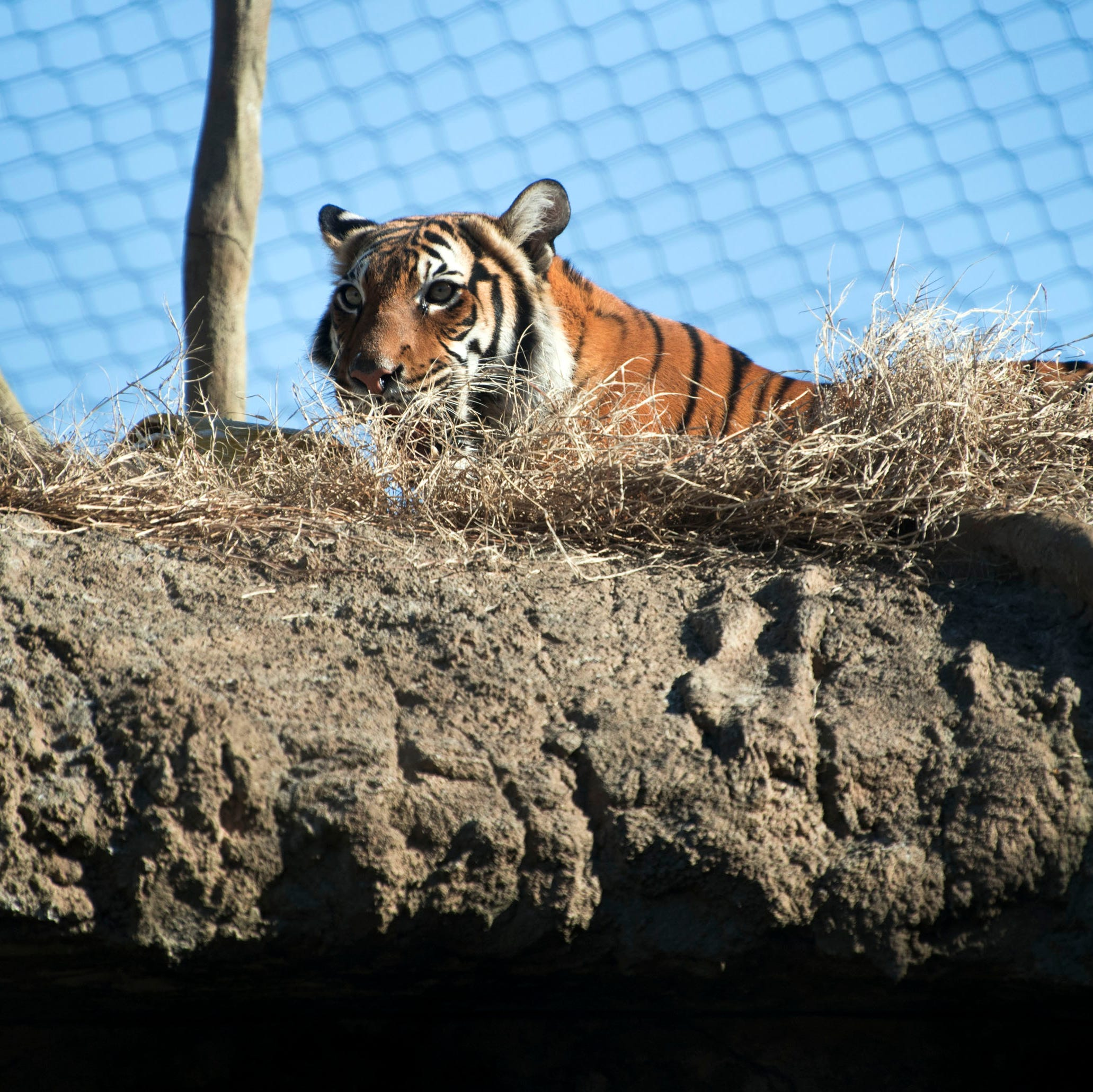 Gold glitter, science and longing glances: Zoo Knoxville hopes rare tigers become parents