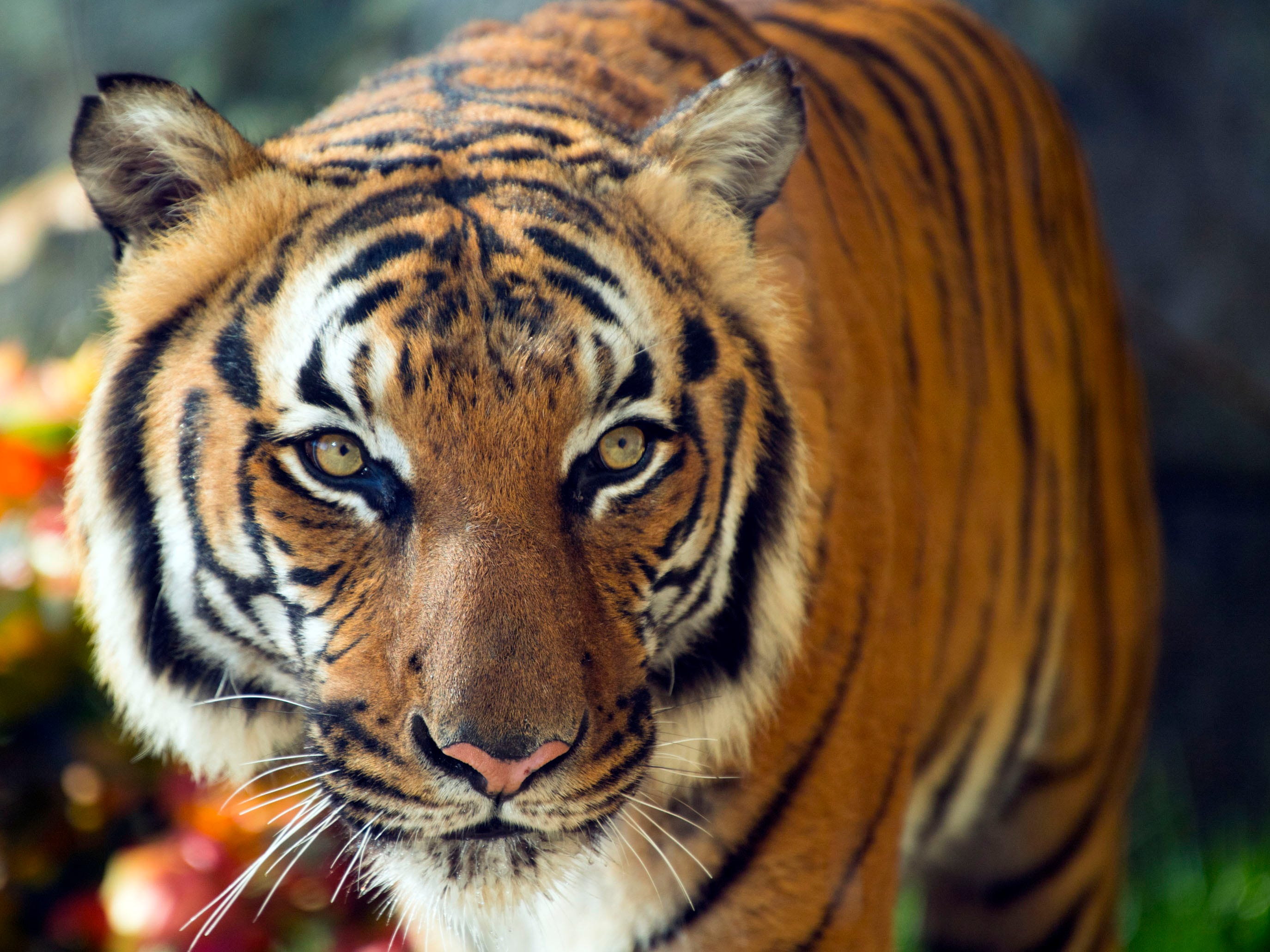 Tanvir paces the grounds of the Tiger Forest habitat. He is one of two male Malayan tigers at Zoo Knoxville.