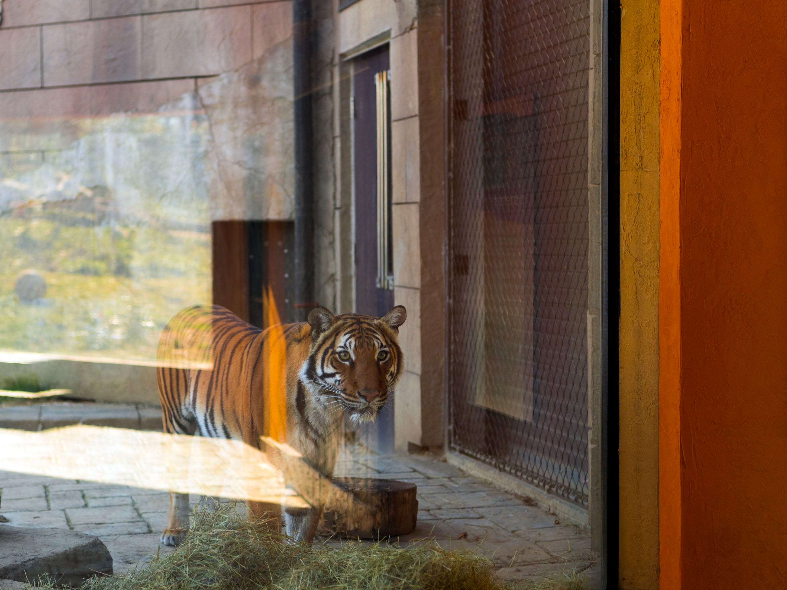 Arya, a rare Malayan tiger, looks into the enclosed viewing room at Zoo Knoxville's Tiger Forest habitat on Monday, January 28, 2019.