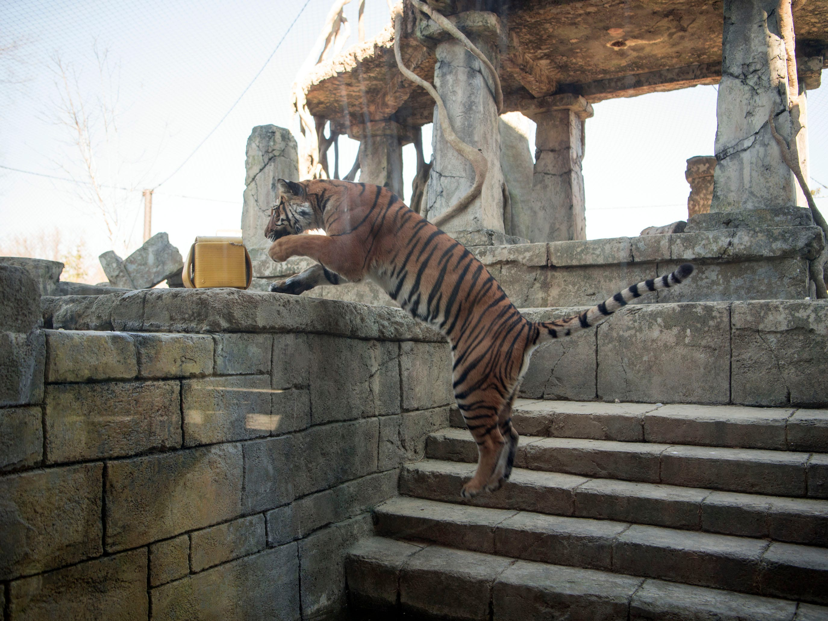 Arya, a rare Malayan tiger, leaps onto a landing at Zoo Knoxville's Tiger Forest habitat on Monday, January 28, 2019.