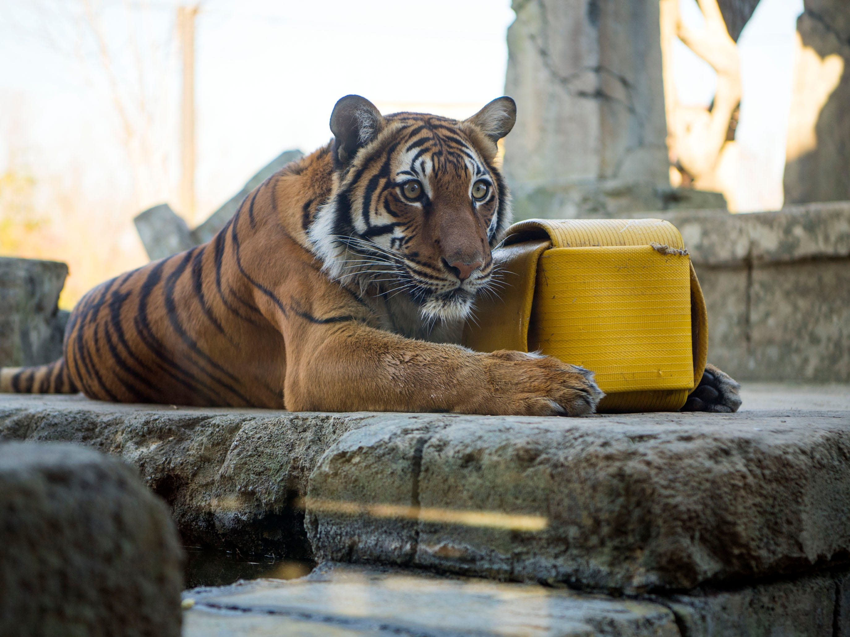 Arya, a rare Malayan tiger, at Zoo Knoxville's Tiger Forest habitat on Monday, January 28, 2019.
