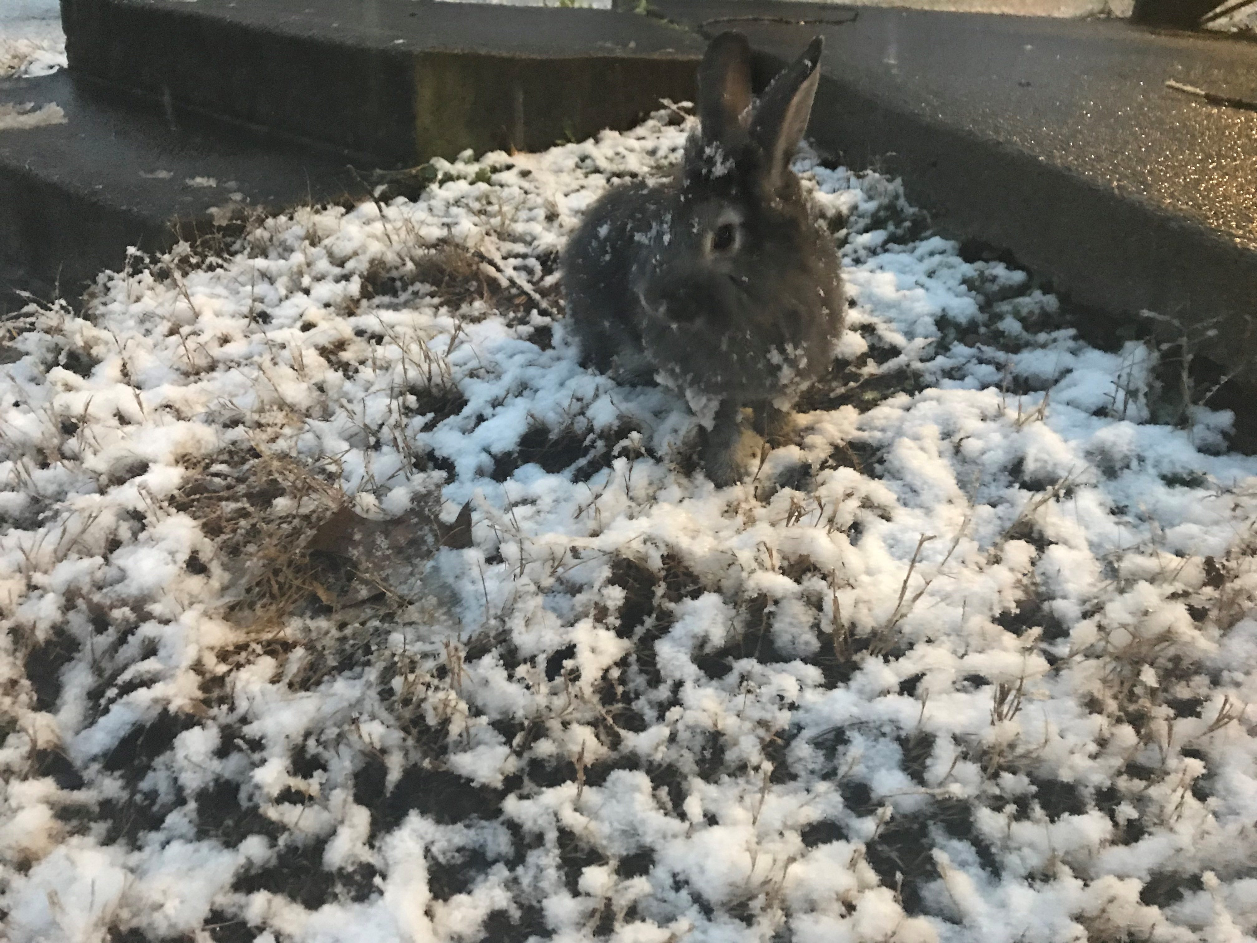 Pet rabbit Mary Hoppins enjoys the snow on Tuesday, January 29, 2019.