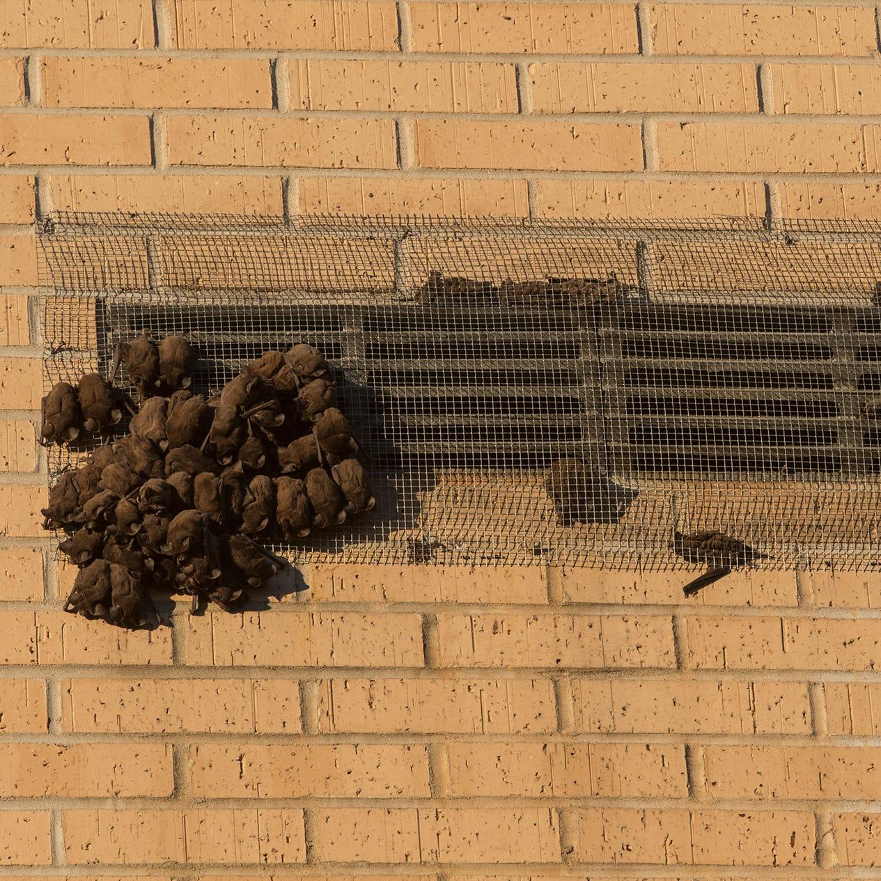 Bat infestation temporarily closes Sugar Hall at ULM