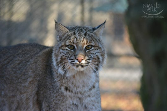 Laura Turner of the Tennessee Volunteers for Animal Protection raised this bobcat as an infant in 2014. The bobcat is now at Noah's Ark Sanctuary in Georgia.