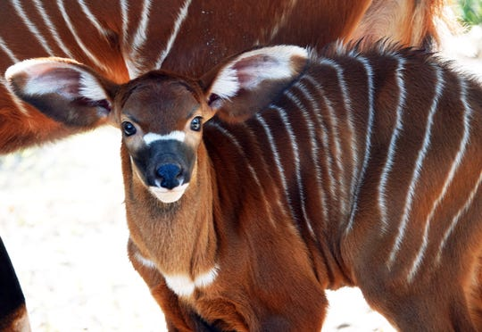 A baby bongo was born Jan. 23, 2019, at the Naples Zoo.