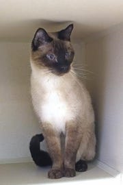 Simon is a very handsome 6-year-old neutered male.